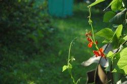 Die Bohnenzucht im heimischen Garten ist relativ unproblematisch.