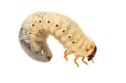Viele Käferlarven schädigen das pflanzliche Wurzelwerk.