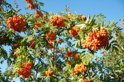 Die Eberesche erkennt man unter anderem an ihren roten Beeren.