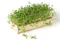 Kresse soltte optimal kultiviert werden.