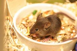 Mäuse lieben Abwechslung im Futternapf.