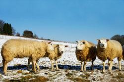 Wenn die Schafskälte so ausfällt, wird für alle Schafe die Schur verschoben.