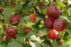 Apfelbäume lieben kalkreiche Böden