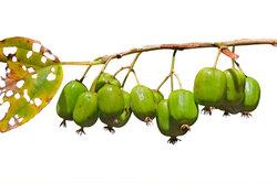 Bei der zweihäusigen Kiwi klappt die Vermehrung nur mit zwei Pflanzen.