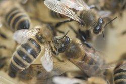 Bienen besprechen die Wettervorhersage.