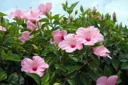 Blütenpracht Hibiskus