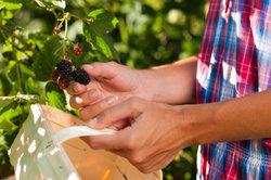Beeren sammeln ist eine schöne Freizeitbeschäftigung.