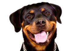 Bei Schmerzen halten Hunde den Kopf schräg.