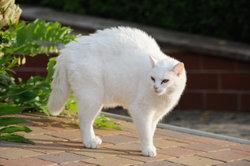 Der Katzenbuckel lässt das Tier gefährlich aussehen.