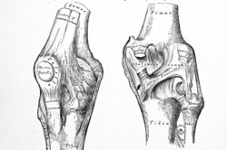 Knochen und Knorpel arbeiten meist Hand in Hand.