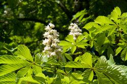 Blütenpracht der Rosskastanie