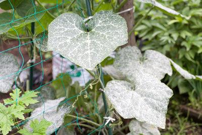 Echter Mehltau überzieht die Oberseite der Blätter.
