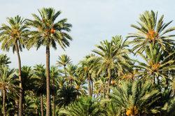 Optimale Bedingungen begünstigen das Palmenwachstum.