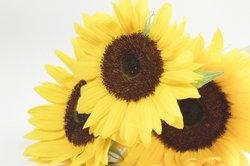 Sonnenblumenöl eignet sich nicht für Fahrräder.