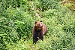 Der Bär kann Ihnen im Jagdspiel gefährlich werden.