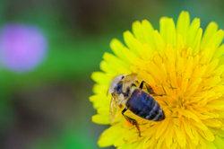 Bienen stellen Honig her.