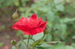 Rosen können von Schädlingen befallen werden.