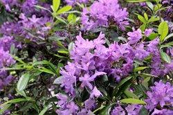Eine reichhaltige Blüte erfreut das Gärtnerherz.