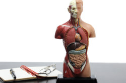 Zur Muskelkontraktion ist Sauerstoff notwendig.