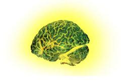 Das Gehirn ist in verschiedene Hirnabschnitte eingeteilt.