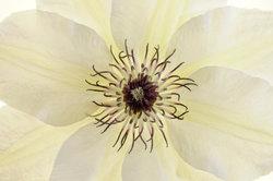 """Die Clematis """"Huldine"""" besticht durch ihren üppigen Blütenstand."""