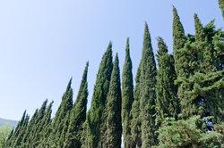 Das Düngen von Zypressen ist relativ unproblematisch.