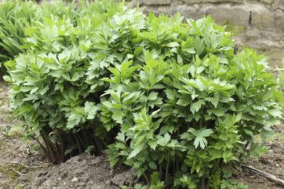 Alle Pflanzenteile des Liebstöckels sind verwertbar - Blattwerk in der Küche, die Wurzeln als Tee.