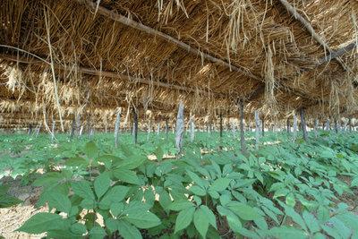 Zucht der Ginseng-Pflanze