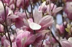 Magnolien besitzen eine interessante Färbung.
