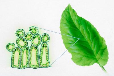 Pflanzenzellen sind Tierzellen gar nicht so unähnlich.