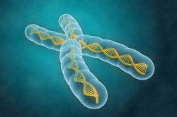 Chromosom, das aus zwei Chromatiden besteht.