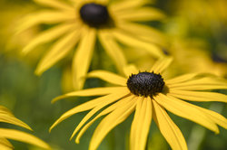 Gelber Sonnenhut in voller Blüte