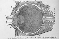 Die Sehnerven leiten optische Informationen an die Sehrinde weiter.