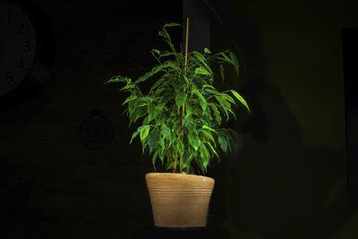 Ein Gummibaum braucht wenig Wasser, um durch schöne Blätter zu erfreuen.
