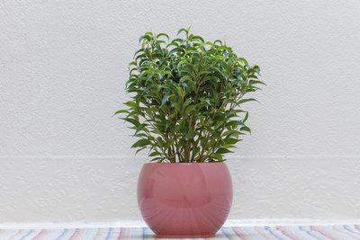So schön kann eine Birkenfeige bei guter Pflege aussehen.