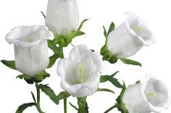 Die Camapnula ist eine sehr anspruchslose Pflanze.