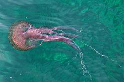 Die Qualle als größter Plankton-Vertreter