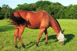 Fliegen und Bremsen malträtieren Pferde sehr.