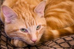 Diese Katze ist mit hoher Wahrscheinlichkeit ein Kater - aber nicht immer.