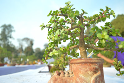 Den Geldbaum erkennen Sie an seinen dicken Blättern.