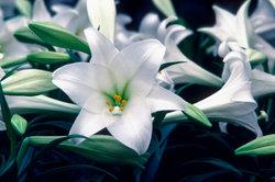 """Die Lilie regeneriert sich selbst - sie ist """"unsterblich""""."""