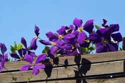 Clematis bilden wundervolle Blüten aus.