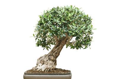 Der Ficus Ginseng wird durch den richtigen Schnitt zum Bonsai.