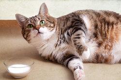 Erwachsene Katzen entwickeln oft eine Laktoseintoleranz.