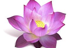 Die Lotusblüte vermittelt vielschichtige Bedeutungen.