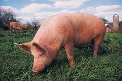 Schweine zählen zu den Allesfressern.