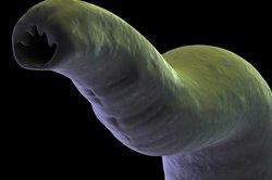 Der Bandwurm ist für den Menschen eher nicht gefährlich.