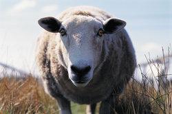 In den Sommermonaten fressen Schafe auf der Weide.