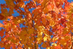 Spitzahorn in Herbstfärbung