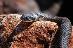 Der Bewegungsapparat der Schlangen ist völlig verknöchert
